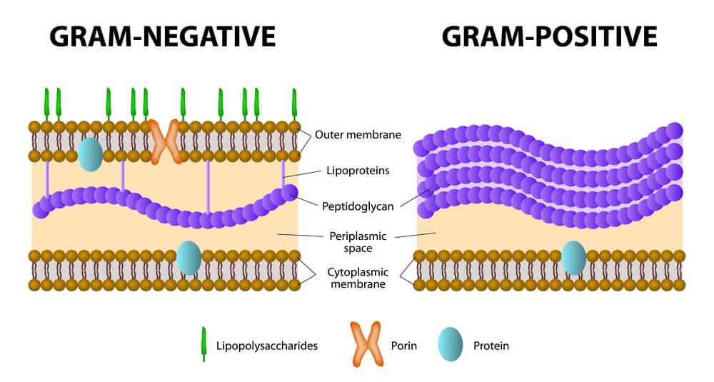 gram positivas gram negativas