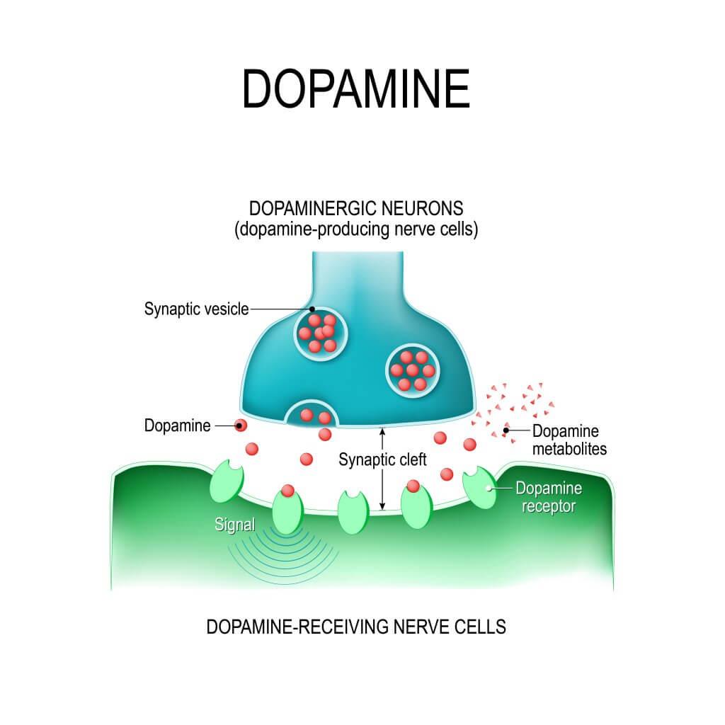 dopamina cascada señalización