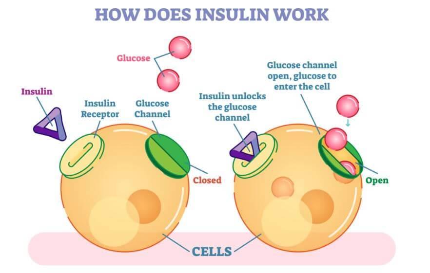 insulina hormona mecanismo acción