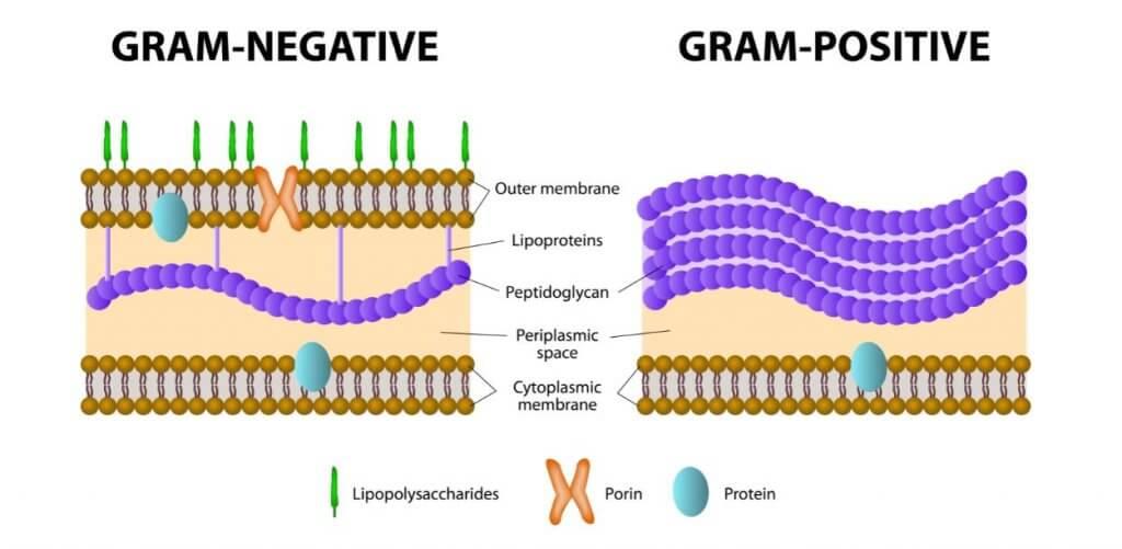 parete cellulare dei batteri gram-positivi e gram-negativi