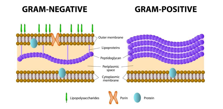 gram positivas gram negativas bacterias pared celular