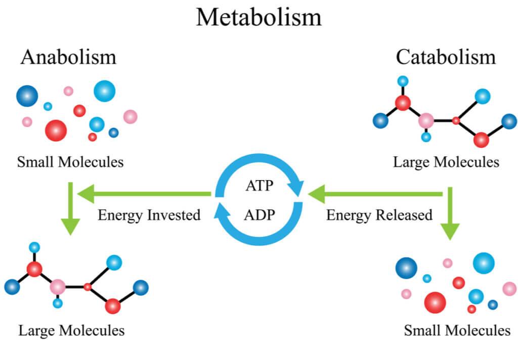 Metabolismo de hidratos de carbono.