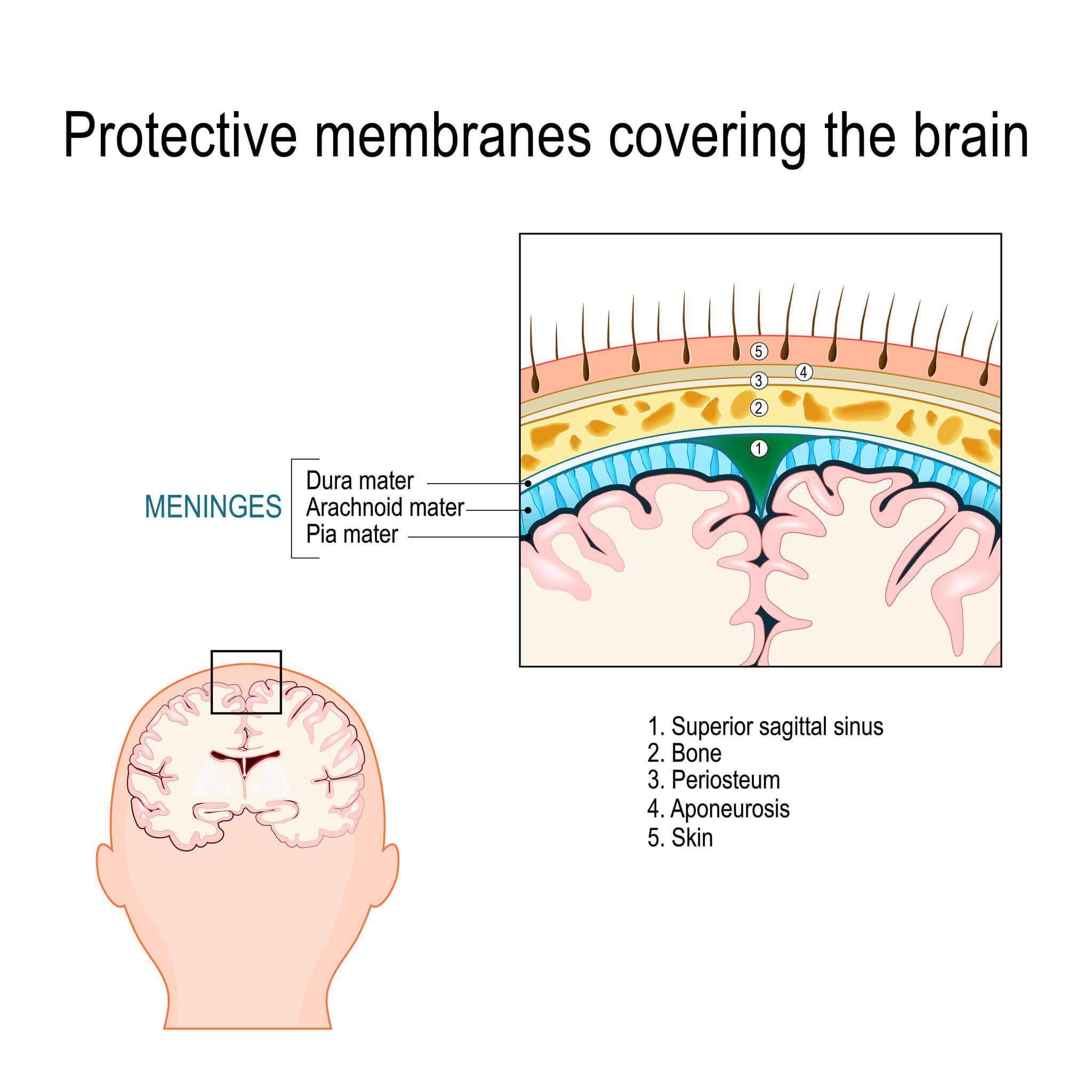 Existem três meninges: dura-máter, pia-máter e aracnoide.
