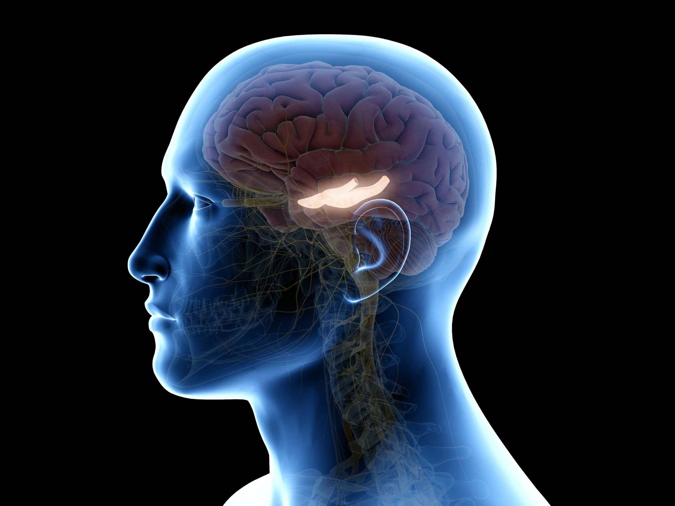 Schéma de l'hippocampe dans le cerveau.