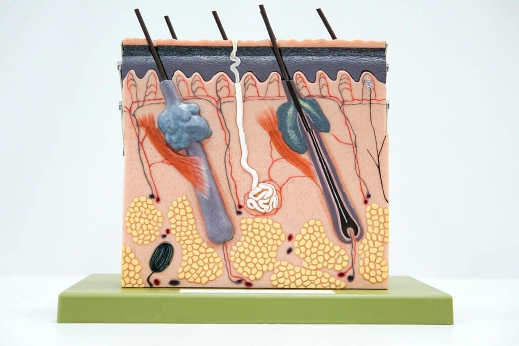 As 3 camadas da pele: características e funções