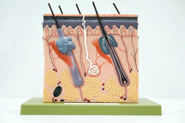 Les 3 couches de la peau: caractéristiques et fonctions