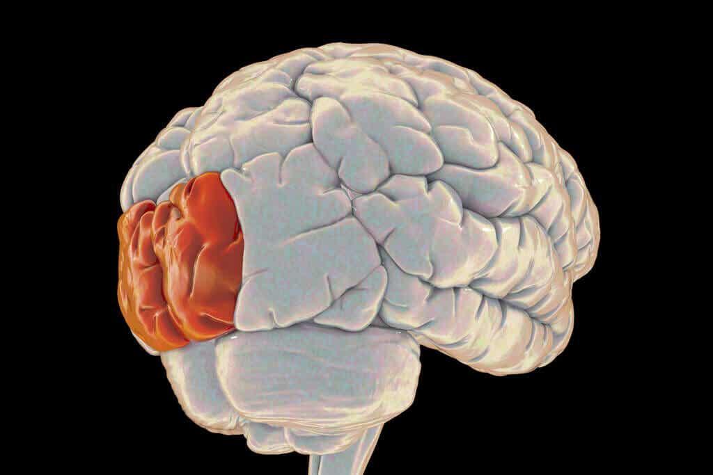 Lóbulo occipital: características y funcionamiento