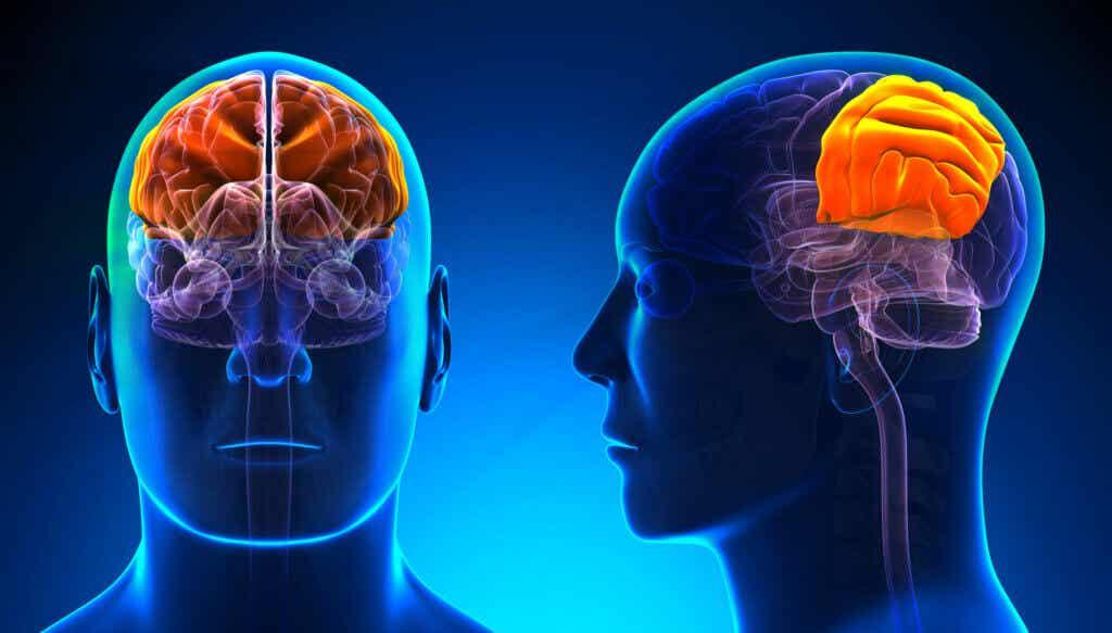 Lóbulo parietal: características y funciones