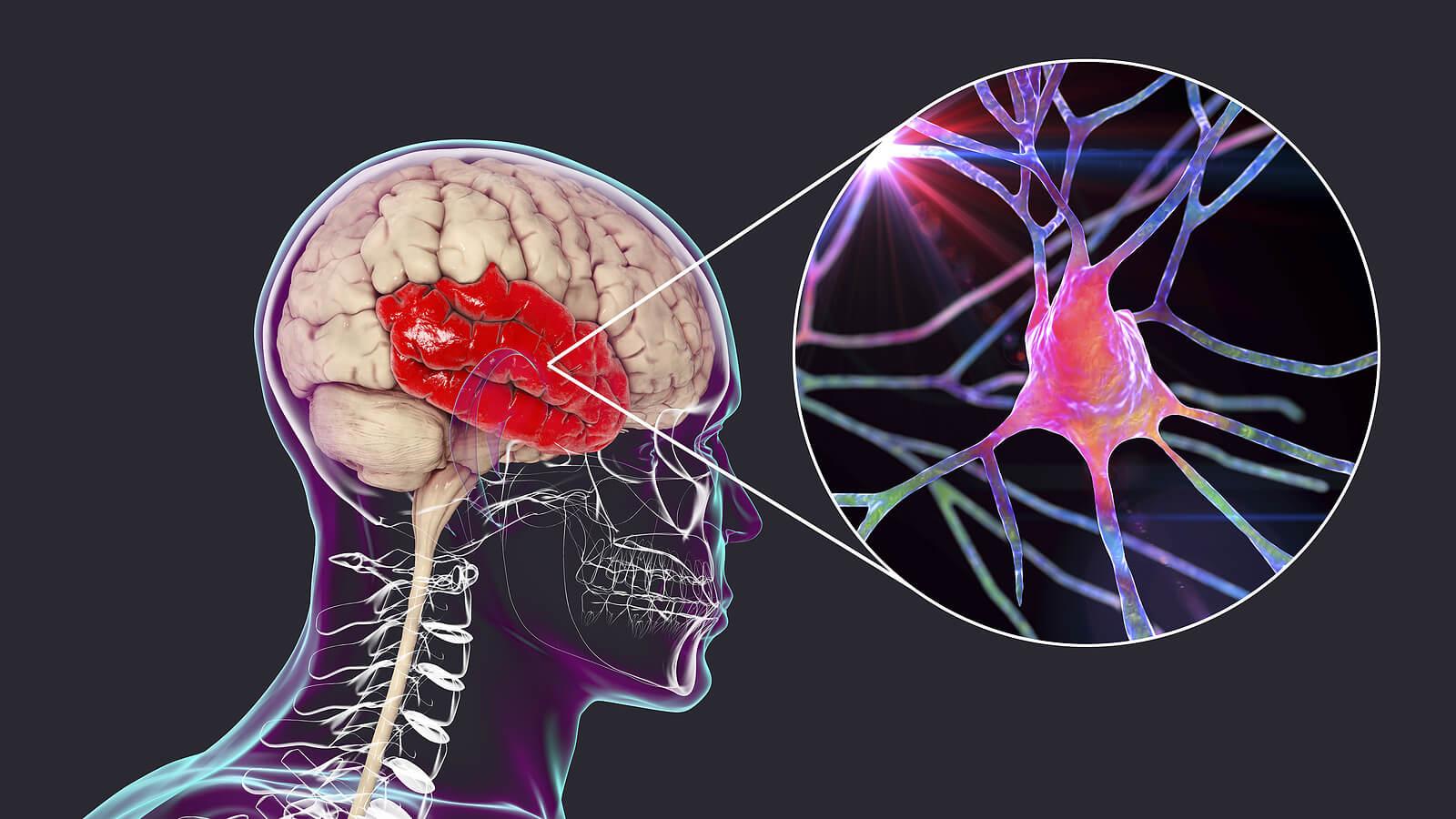 Lóbulo temporal: características y funciones