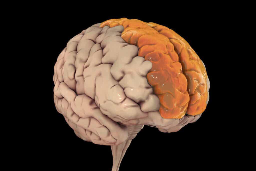 Lóbulo frontal: características y funcionamiento