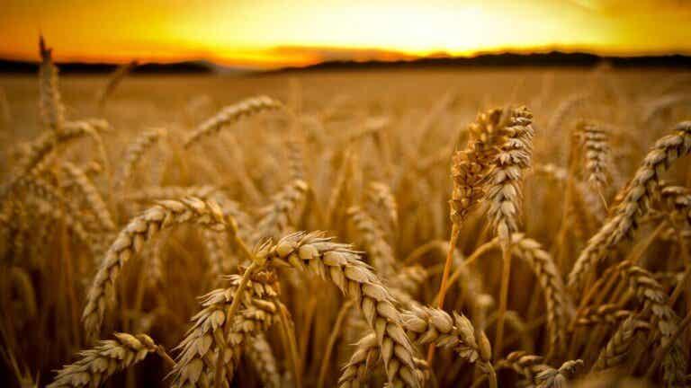 Alergia ao trigo: tudo o que você precisa saber
