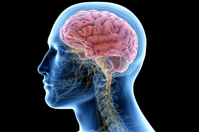 Diferencias entre cerebro y cerebelo