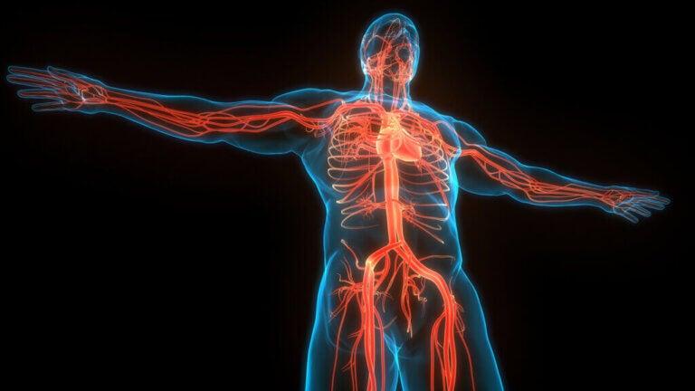 Diferenças entre veias e artérias
