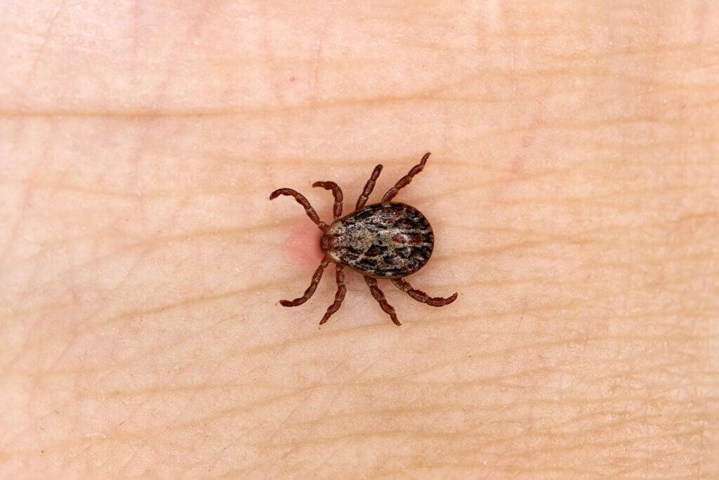 Garrapata causa síntomas de enfermedad de Lyme.