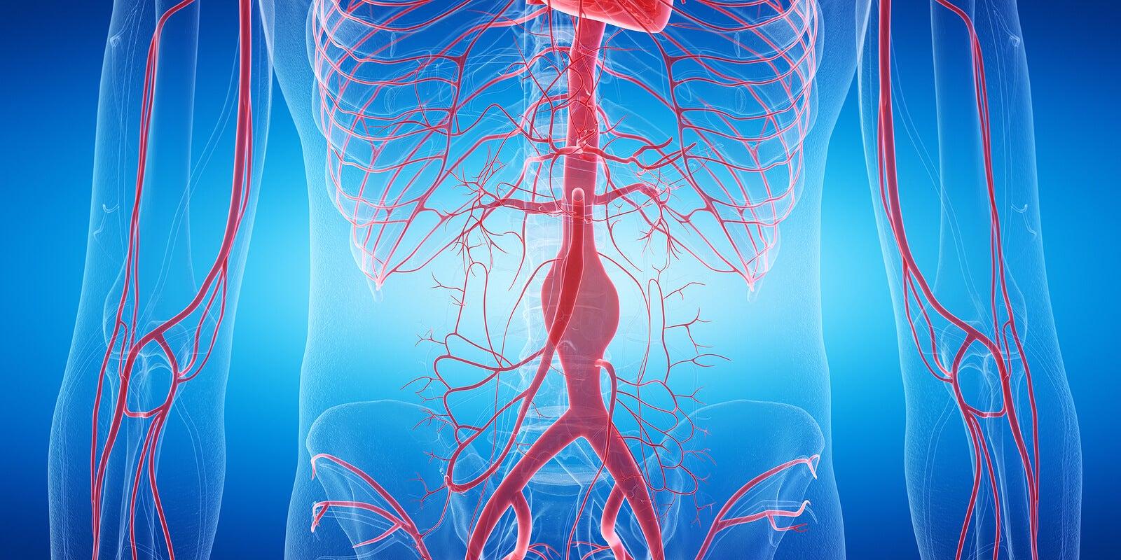 Entre las diferencias entre venas y arterias está su origen