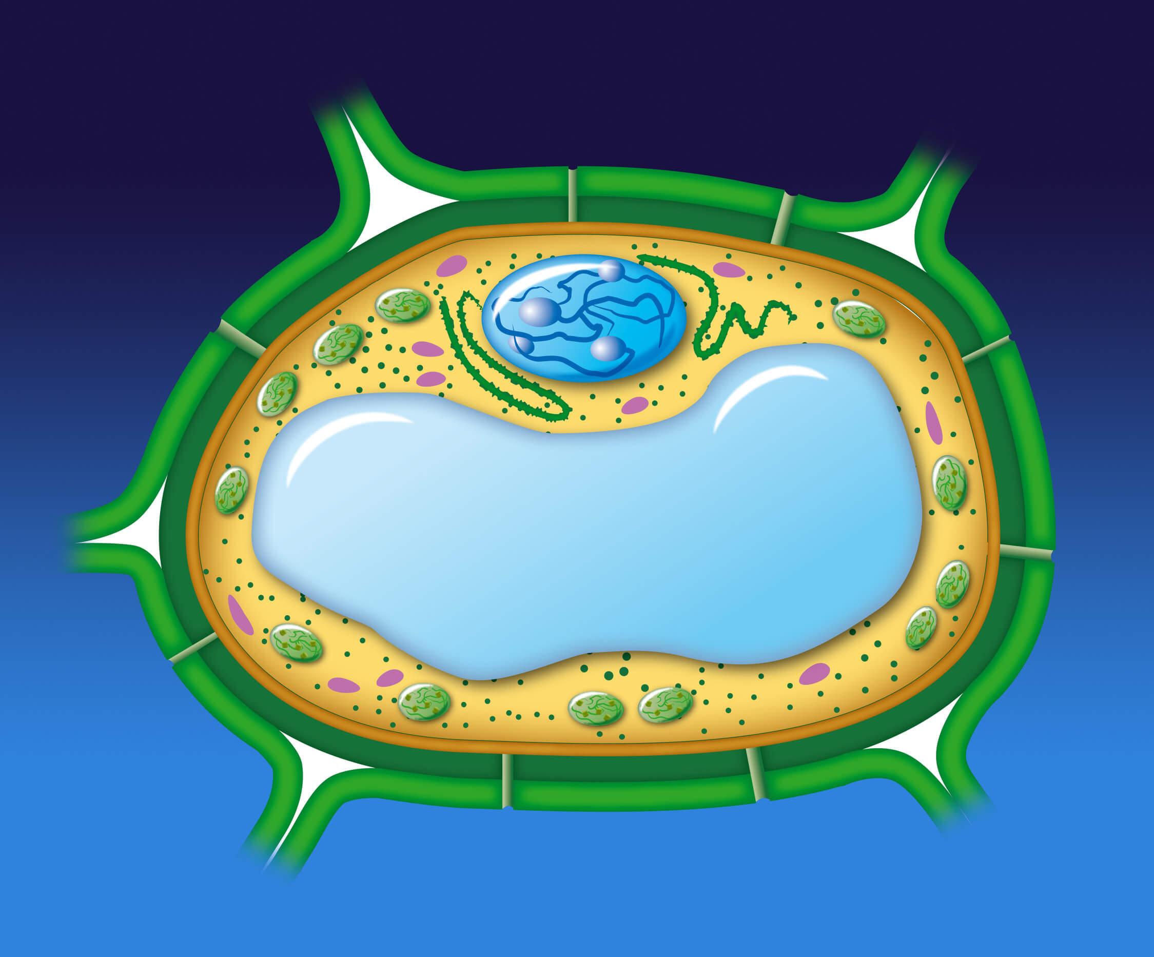 Entre las diferencias entre célula vegetal y animal está la pared celular