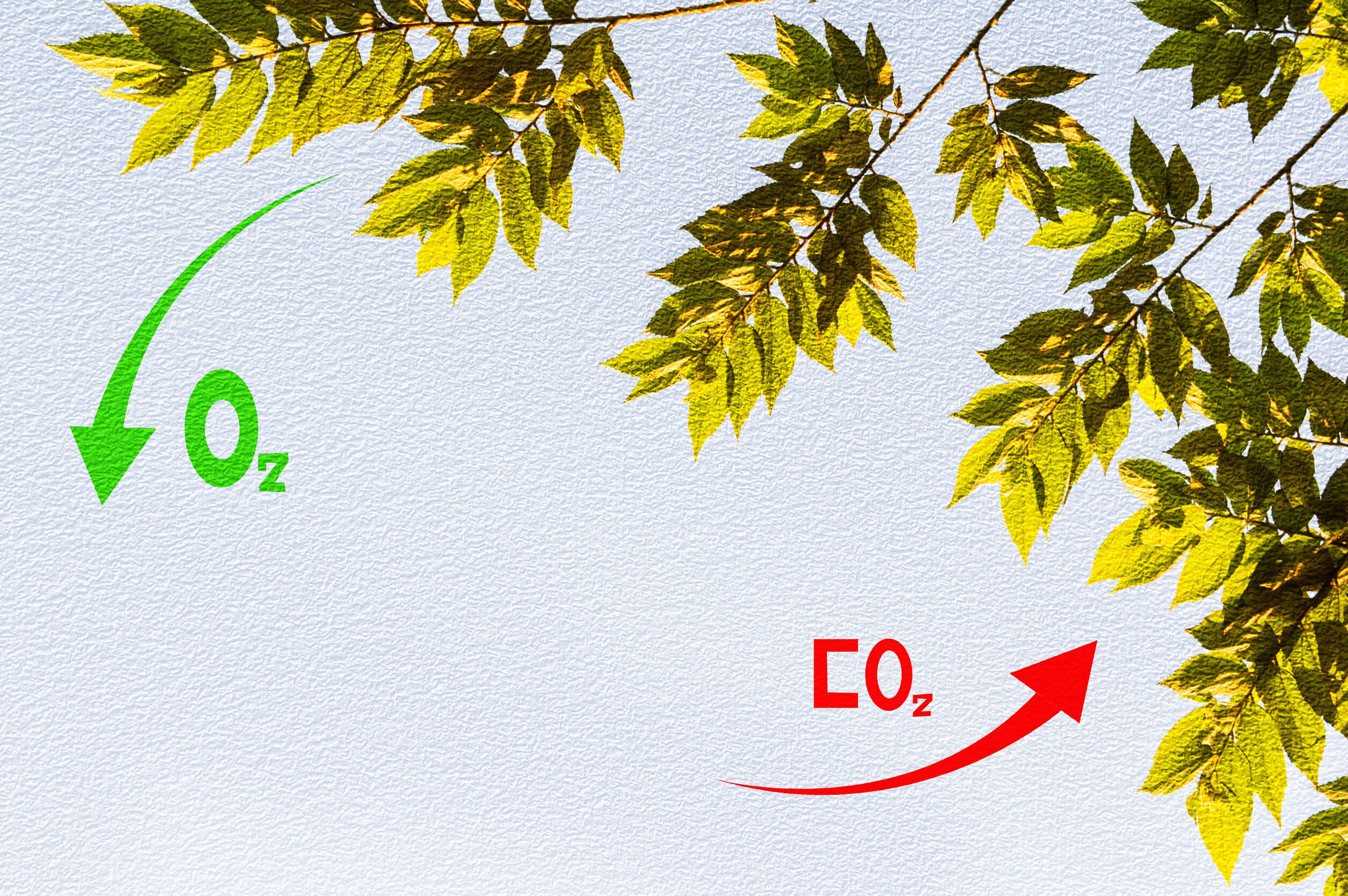 Entre las diferencias de las células vegetales y células animales está la fotosíntesis