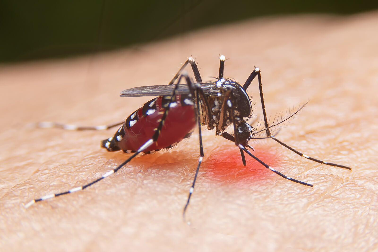 Por qué pican los mosquitos: para alimentarse
